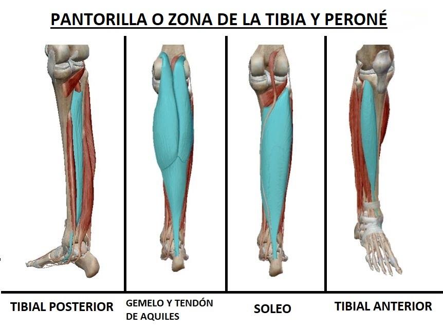 Perfecto Tibial Anterior Anatomía Bosquejo - Imágenes de Anatomía ...